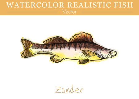 Hand painted watercolor fish isolated on white background. Zander, Sander lucioperca, pike perch. Percidae family fish. Colorful, freshwater edible fish. Vector illustration. Vettoriali