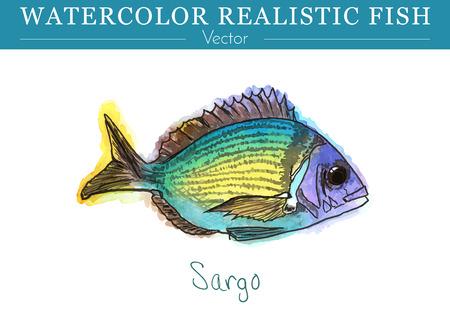 Pescados pintados a mano de la acuarela aislados en el fondo blanco. Diplodus sargus, dorada, sargo, sparidae. Colorido comestible, peces de agua salada. Ilustración vectorial Foto de archivo - 75443885