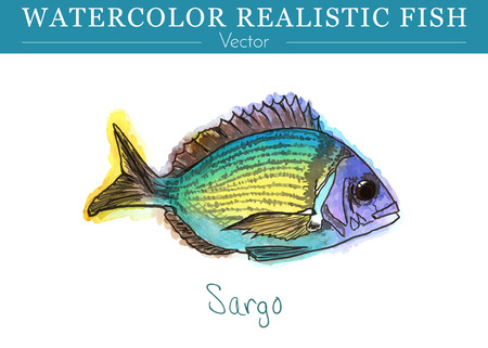 Hand painted watercolor fish isolated on white background. Diplodus sargus, seabream, sargo, sparidae. Colorful edible, saltwater fish. Vector illustration. Vettoriali
