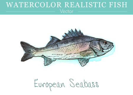 Hand painted watercolor fish isolated on white background. EEuropean, Mediterranean seabass, Dicentrarchus labrax.