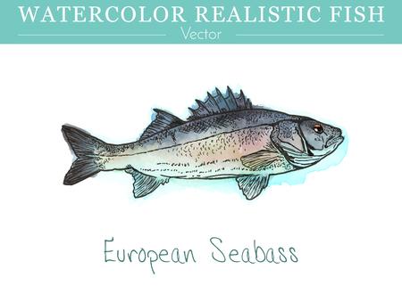 Pintado a mano acuarela peces aislados sobre fondo blanco. Lubina mediterránea, Dicentrarchus labrax. Foto de archivo - 75444312