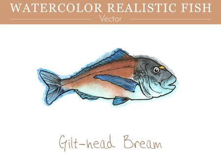 Hand painted watercolor fish isolated on white background. Gilt-head bream, Sparus aurata, Sparidae family fish. Colorful edible, saltwater fish. Vector illustration.
