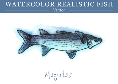 Hand painted watercolor fish isolated on white background. Mugilidae, grey mullet. Mugilidae family fish. Colorful edible, salt water and fresh water fish. Vector illustration.