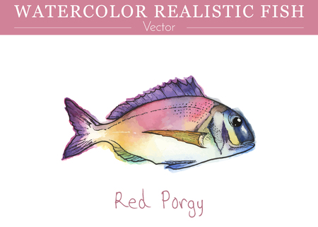 Hand painted watercolor fish isolated on white background. Red Porgy or common seabream. Sparidae family fish. Colorful edible, salt water fish. Vector illustration.