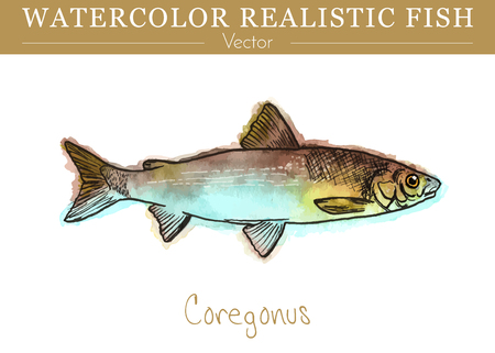 Hand painted watercolor fish isolated on white background. Coregonus lavaretus. Salmonidae, salmon family fish. Colorful edible, salt water and fresh water fish. Vector illustration.