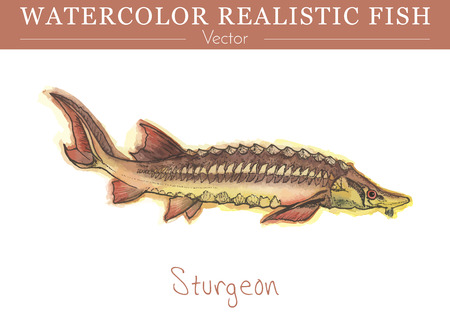 Hand painted watercolor fish isolated on white background. Sturgeon, beluga. Acipenseridae family fish. Colorful edible, salt water and fresh water fish. Vector illustration. 版權商用圖片 - 75848328