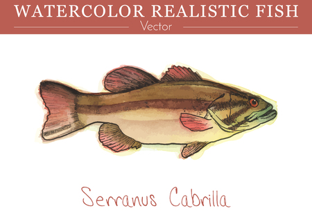 Hand painted watercolor fish isolated on white background. Serranus cabrilla, Comber. Serranidae family, Serraninae subfamily fish. Colorful edible, salt water fish. Vector illustration.
