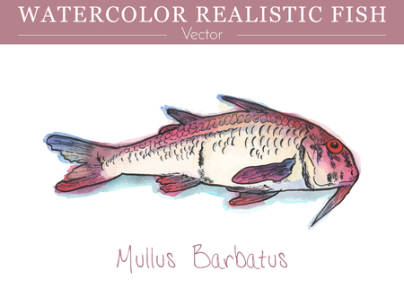 Hand painted watercolor fish isolated on white background. The red mullet, Mullus barbatus, a species of goatfish. Mullidae family fish. Colorful edible, salt water fish. Vector illustration. Vettoriali