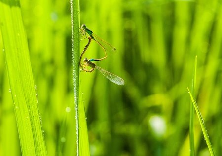Two dragonflies in th field  photo