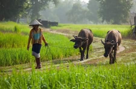 The girl direct buffalos in the field photo
