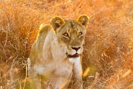 Photographed on an evening game drive, from an open top safari vehicle. She was part of a small pride of lions that were resting in the grass. Stock Photo