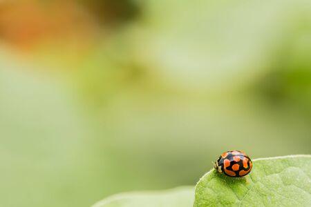 Macro close up of an orange Ladybug beetle on a bright green leaf