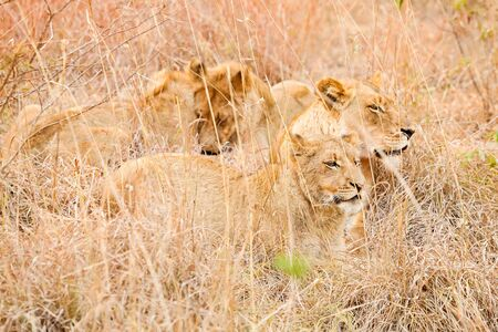 African Lion hiding in long grass in a South African Game Reserve
