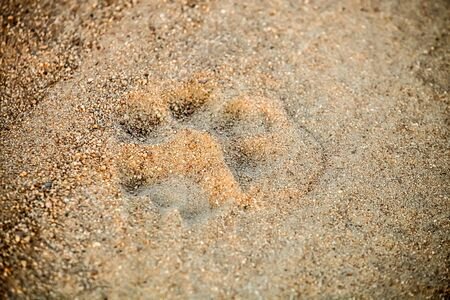 Paw-print tracks of an African Lion on a dirt road on safari in a South African Game Reserve