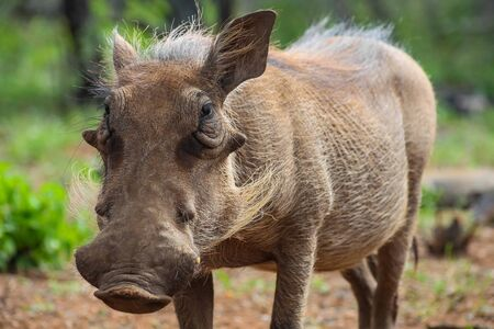Wild Warthog in a South African game reserve
