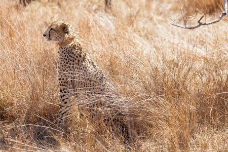 African Cheetah sitting in long grass on safari in a South African game reserve Reklamní fotografie
