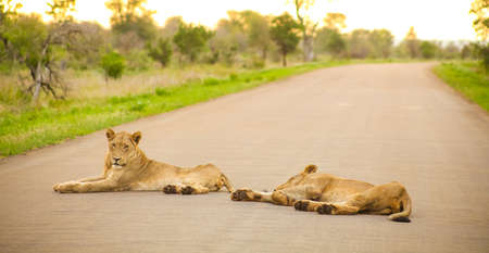 African Lions lying in a road on Safari in a South African Game Reserve