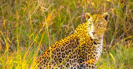 Camouflaged wild cat lying in the grass. Hunting prey on the Savannah. Conservation of endangered animals. Protected species of Africa