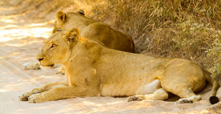 A Pride of African Lions on Safari in a South African Game Reserve