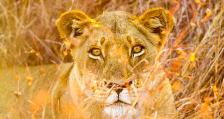 Close up of a female African Lion hiding in the long grass