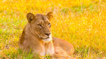 Close up of a female African Lion in a South African wildlife game reserve at sunrise 免版税图像