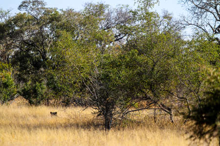 African Lions ears sticking out of long grass in a South African Game Reserve