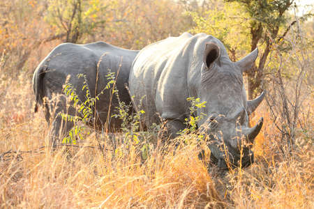 Large African White Rhino in a South African Game Reserve