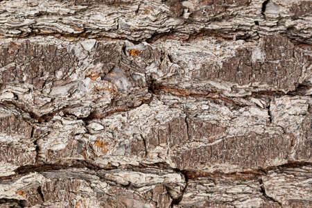 Macro close-up of bark and resin in Pine Forest Plantation in Cape Town