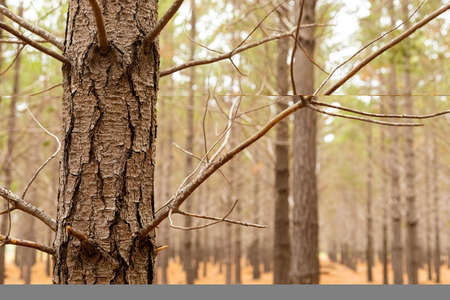 Rows of trees in a Pine Forest Plantation in Cape Town, South Africa Stock Photo