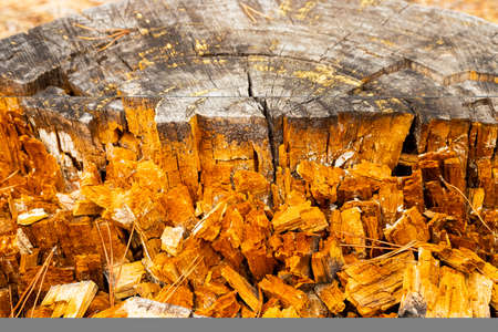 Macro close-up of tree rings and resin in Pine Forest Plantation in Cape Town