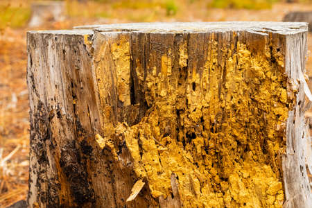 Macro close-up of rotten pine log stump in forest plantation in Cape Town