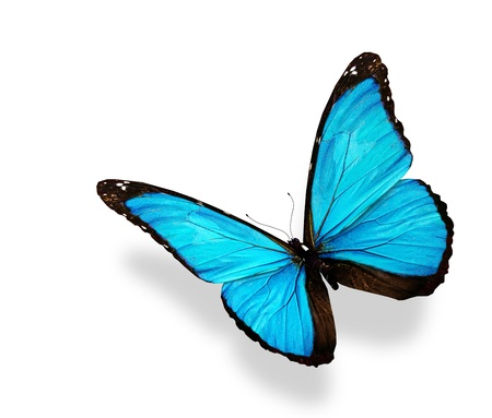 Blue butterfly morpho, isolated on white background photo