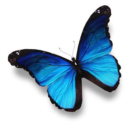 mariposa azul: Mariposa azul, aislado en blanco