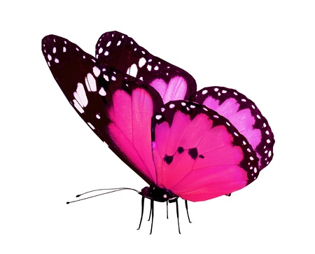 butterfly flying: Pink butterfly, isolated on white