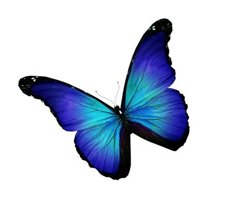 azul turqueza: Mariposa azul turquesa oscuro, aislado en blanco
