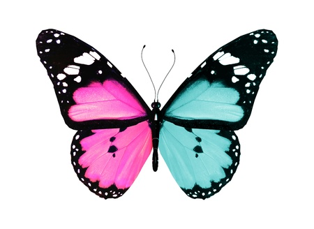 Butterfly with blue and pink wings flying, isolated on white background