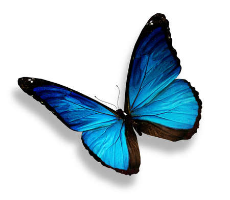 morpho: Blue butterfly, isolated on white