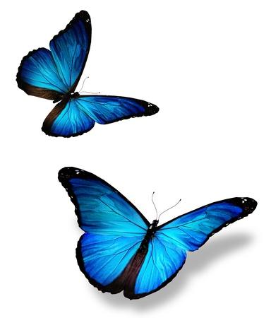 mariposas volando: Dos mariposa azul, aislado en blanco