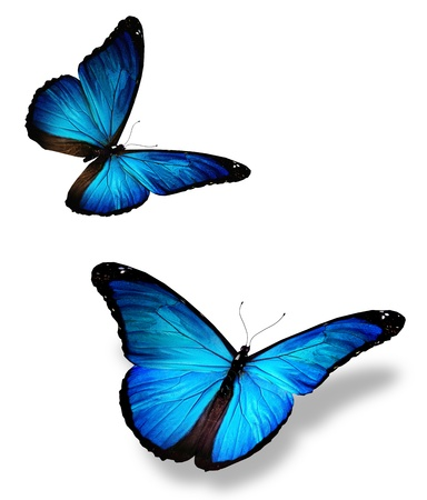 black and blue butterfly flying: Two blue butterfly, isolated on white