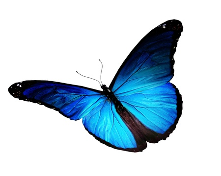 morpho: Blue butterfly flying, isolated on white