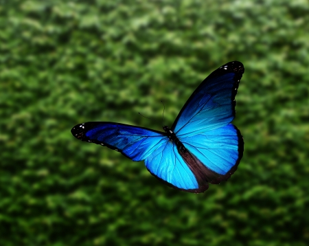 yellow butterflies: Blue  morpho  butterfly flying Stock Photo