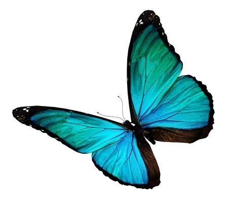 mariposa azul: Turquesa mariposa, aislado en blanco