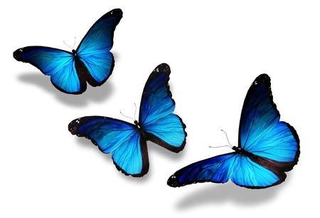 mariposa azul: Tres mariposas azules vuelan, aislado en blanco