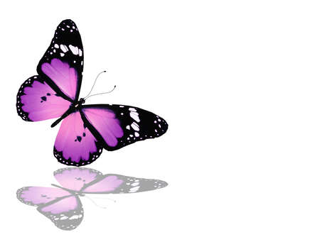 Violet butterfly, isolated on white photo