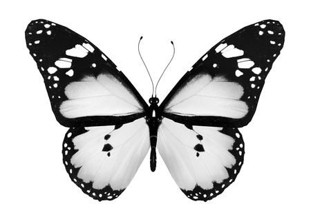 black and white: Gray butterfly, isolated on white