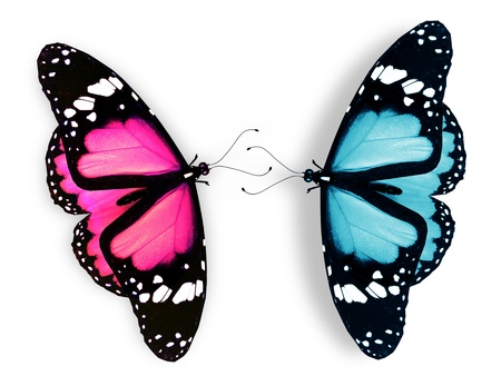 black and blue butterfly flying: Pink and blue butterfly, isolated on white