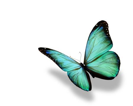 격리 된 흰색 배경에 청록색 나비의 비행,