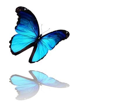 mariposa azul: Morpho azul de la mariposa de vuelo, aisladas sobre fondo blanco