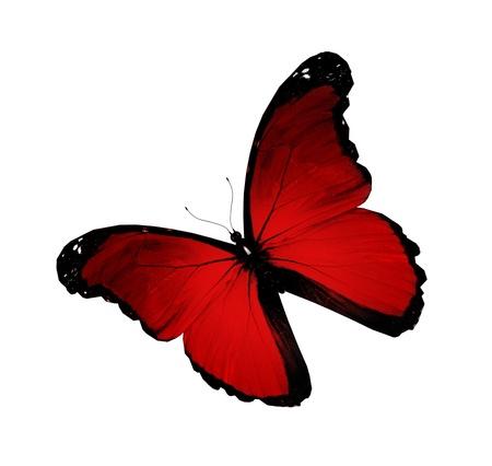 Morpho red flying, isolated on white background photo