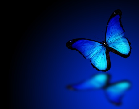 black and blue butterfly flying: Morpho blue butterfly on dark blue background